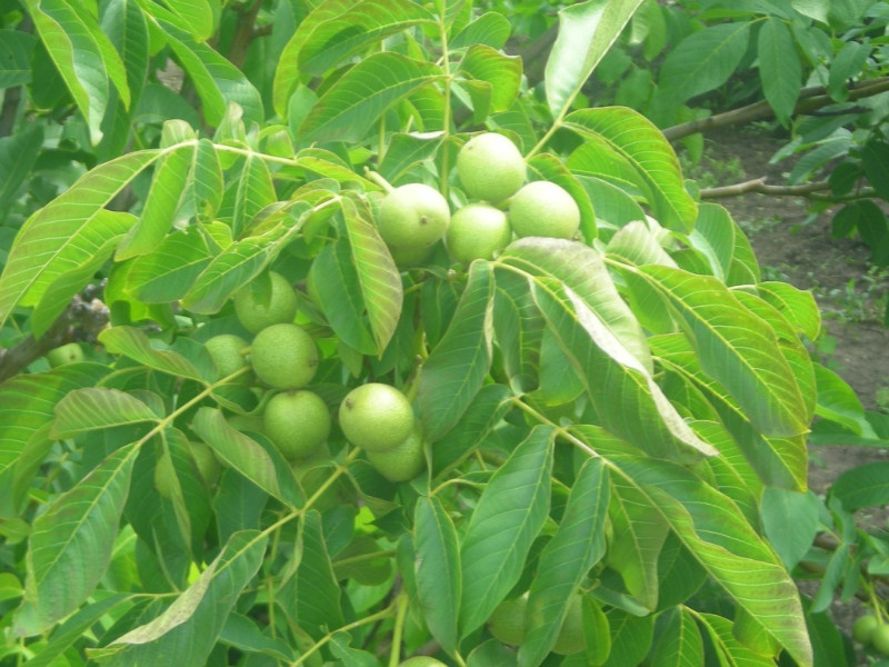 Картинки по запросу дерево Орех