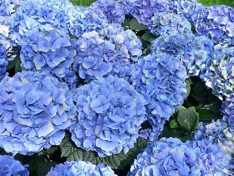 многолетние цветы синего цвета