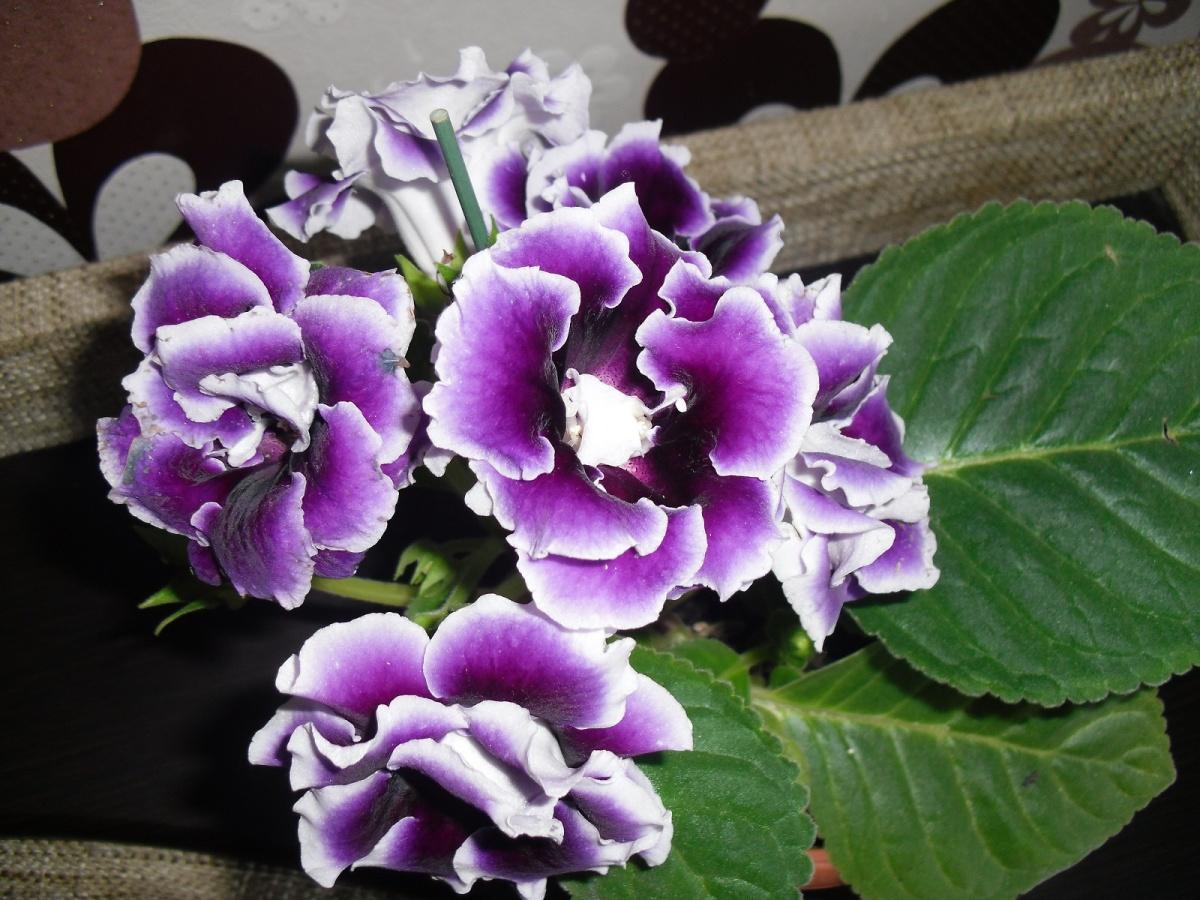 Домашний цветок с сиреневыми колокольчиками фото