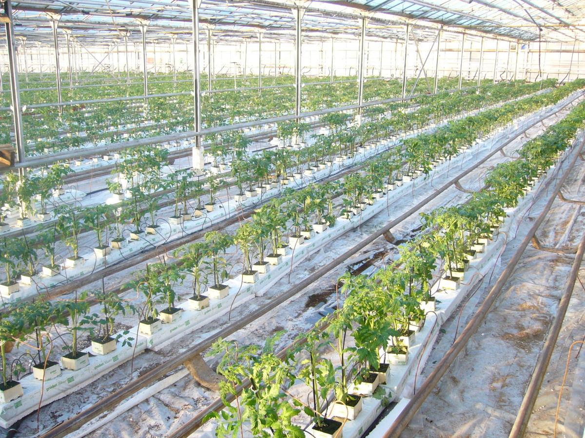 Выращивание помидоров в зимних теплицах 31