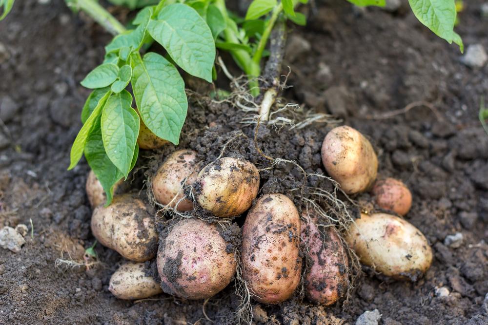 Как сажать картошку с рыбой от колорадского жука
