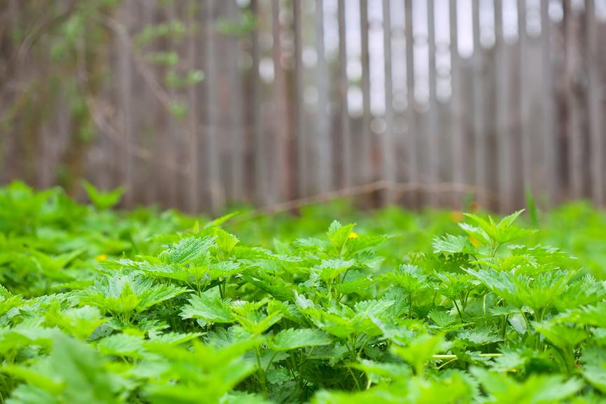 удобрение из крапивы для огурцов