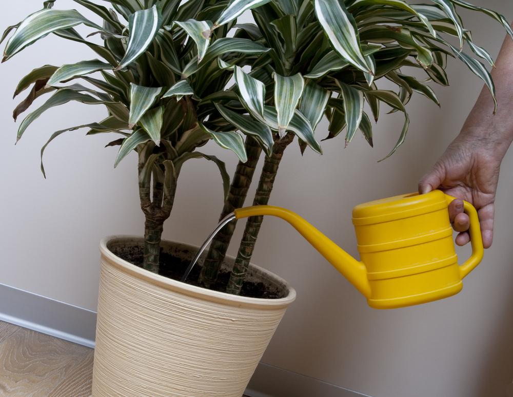 Драцена уход в домашних условиях полив и