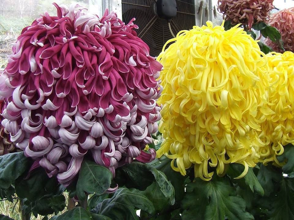 карликовые хризантемы