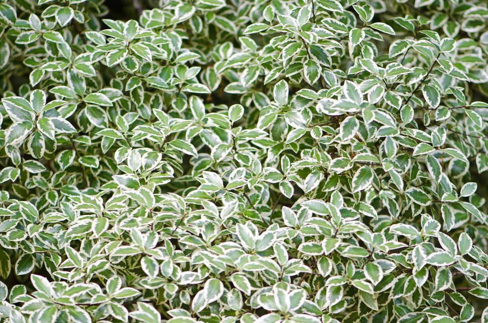 Бересклет  листья бересклета цветы и плоды бересклета
