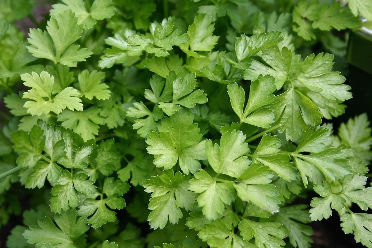 петрушка листовая выращивание и схемы посадки