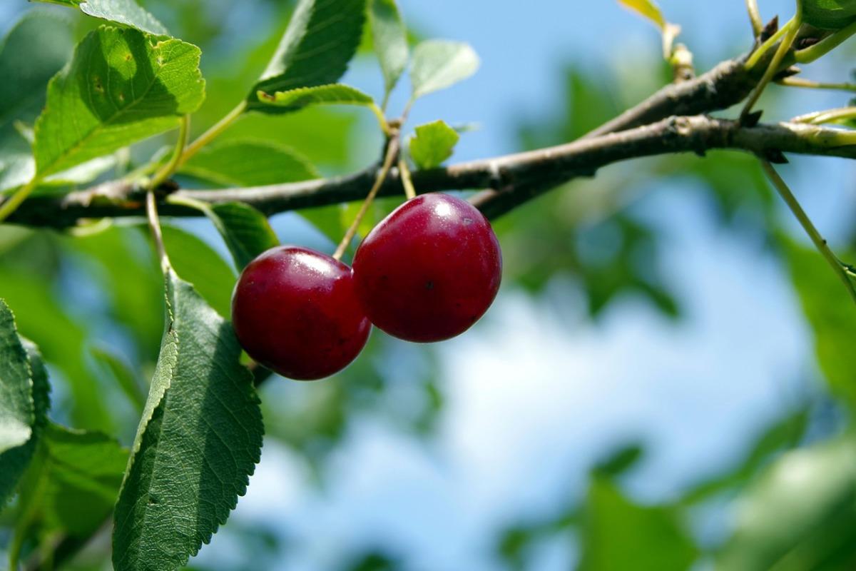 обрезка вишни войлочной осенью схема