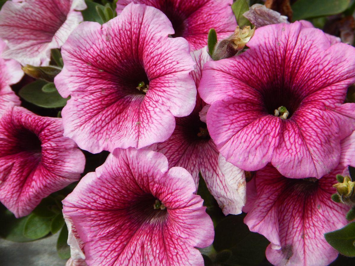 Глоксиния, или Синнингия - Комнатные растения и цветы