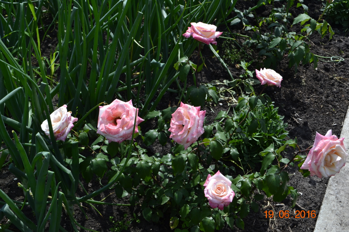 Розы купить агрофирма