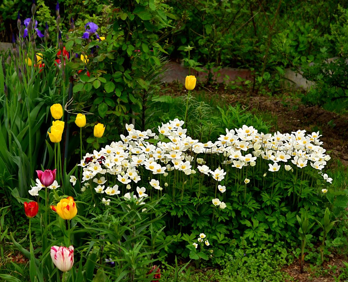 Анемона цветов на клумбе