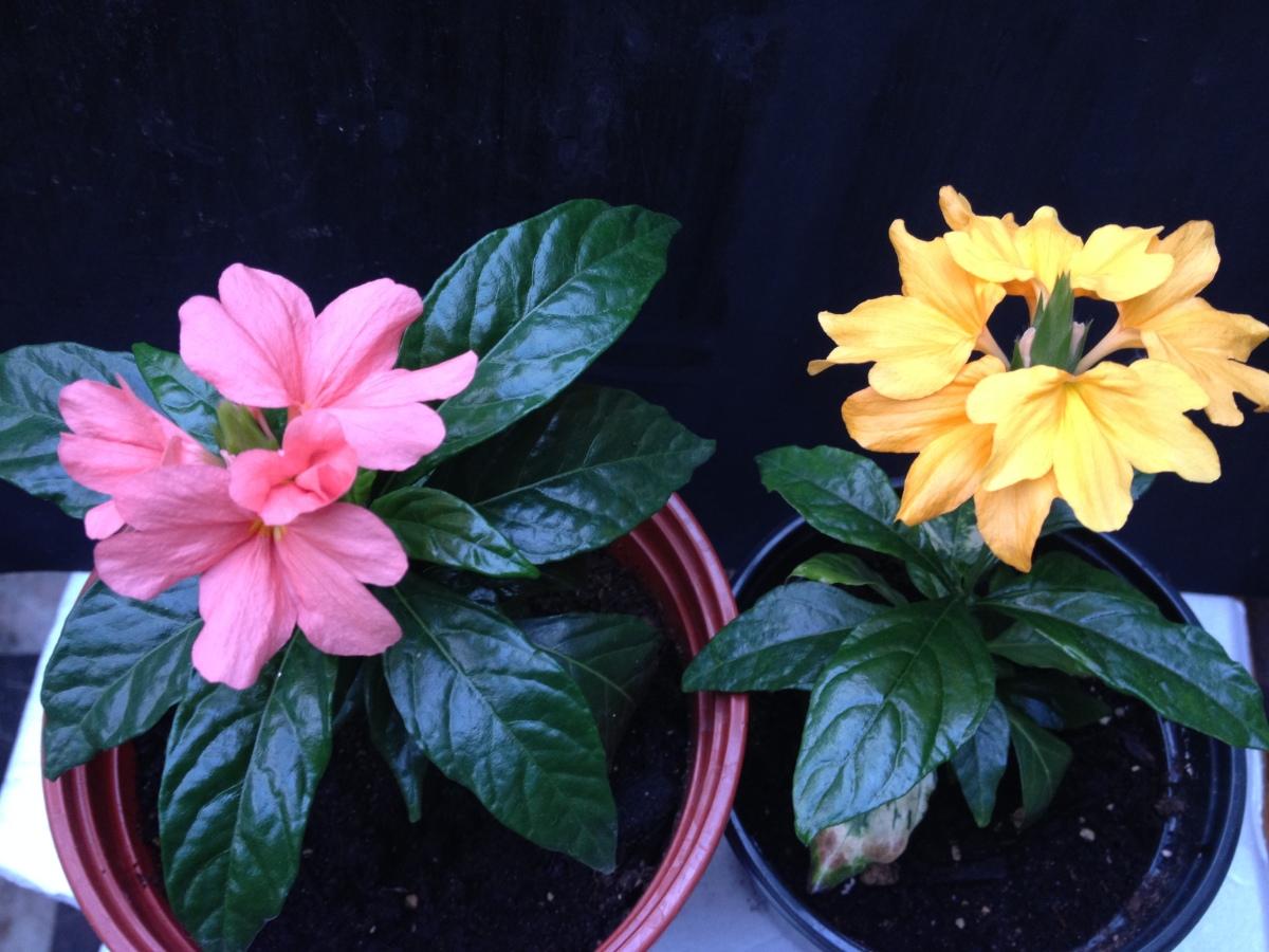 Комнатные цветы кроссандра фото