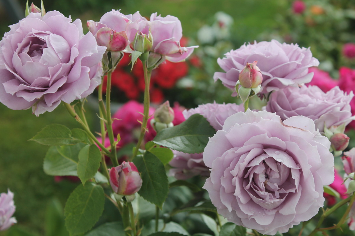 розы на решетке схема