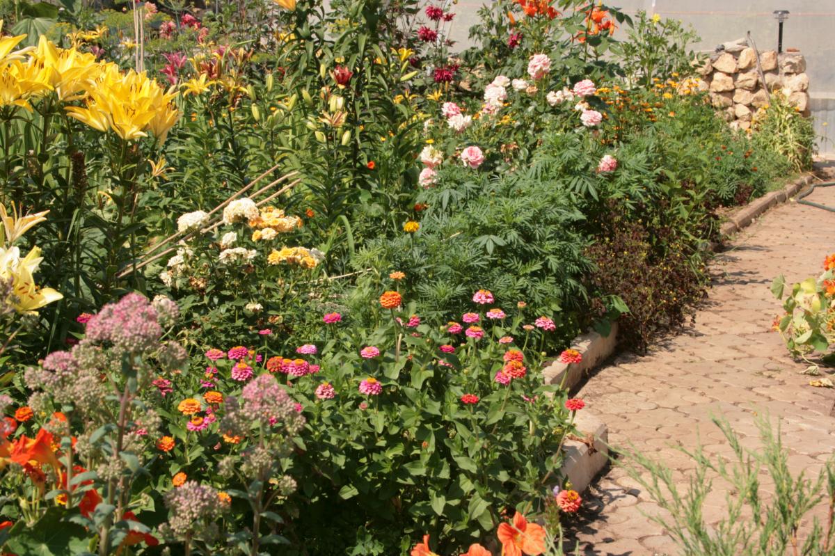 цинии  в саду