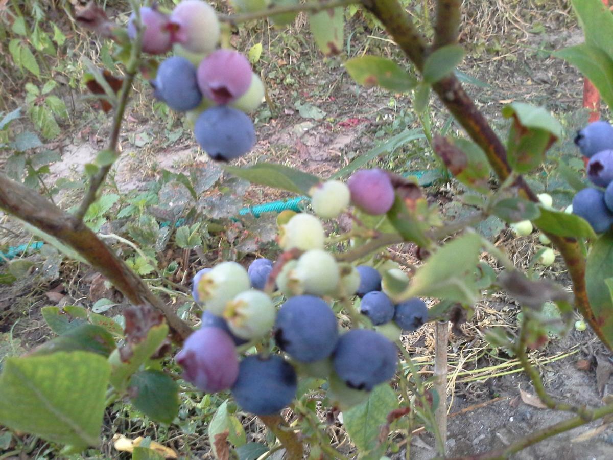Клюква: сорта, выращивание и уход 5