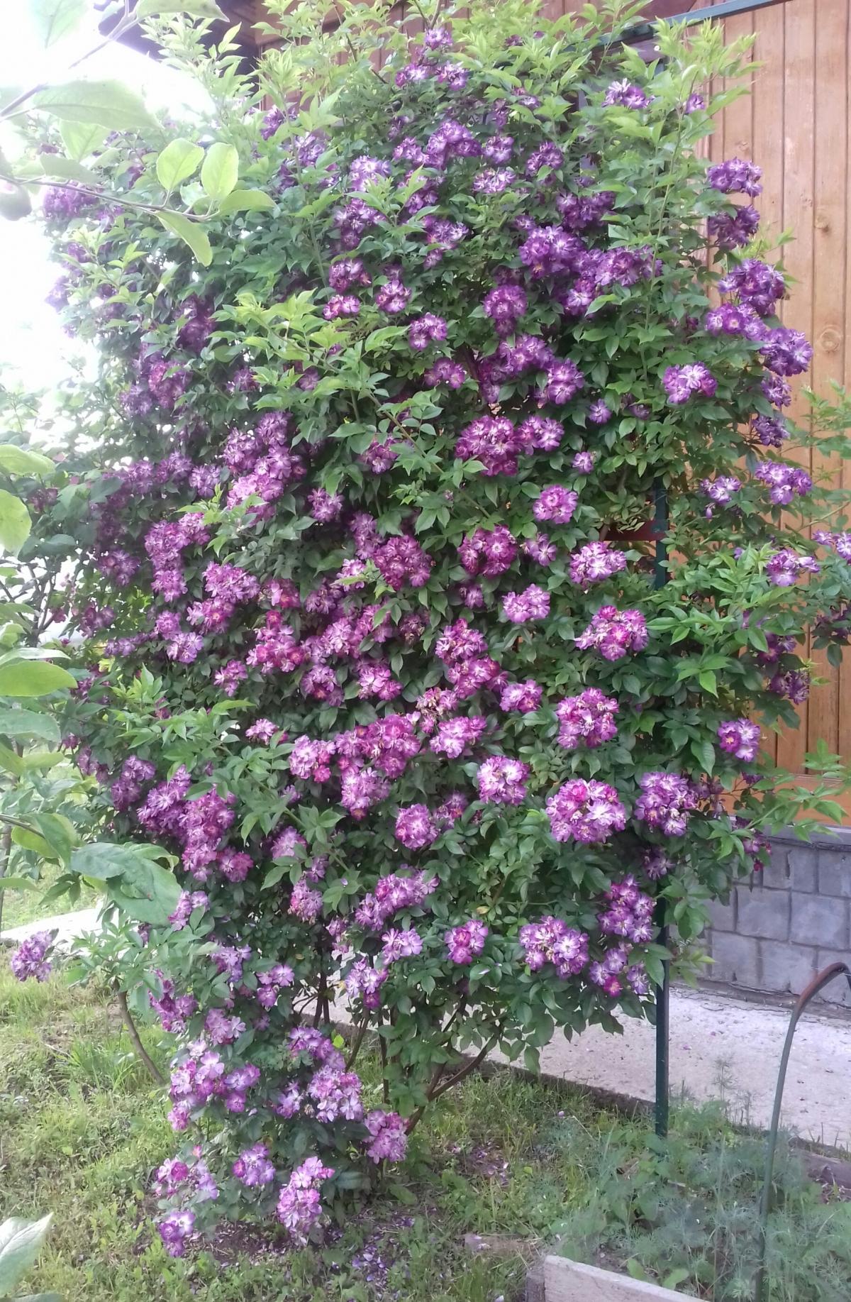 Роза плетистая сиреневая 4