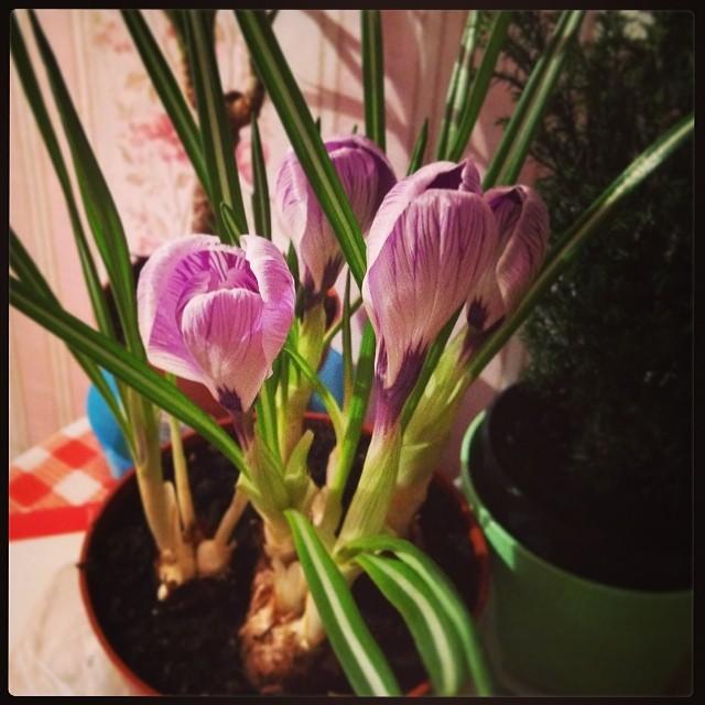 Цветок крокус комнатный