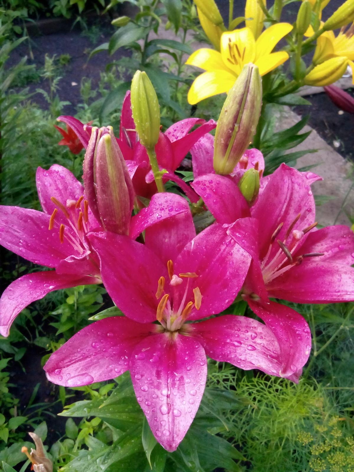 Лилии садовые цветы фото и названия