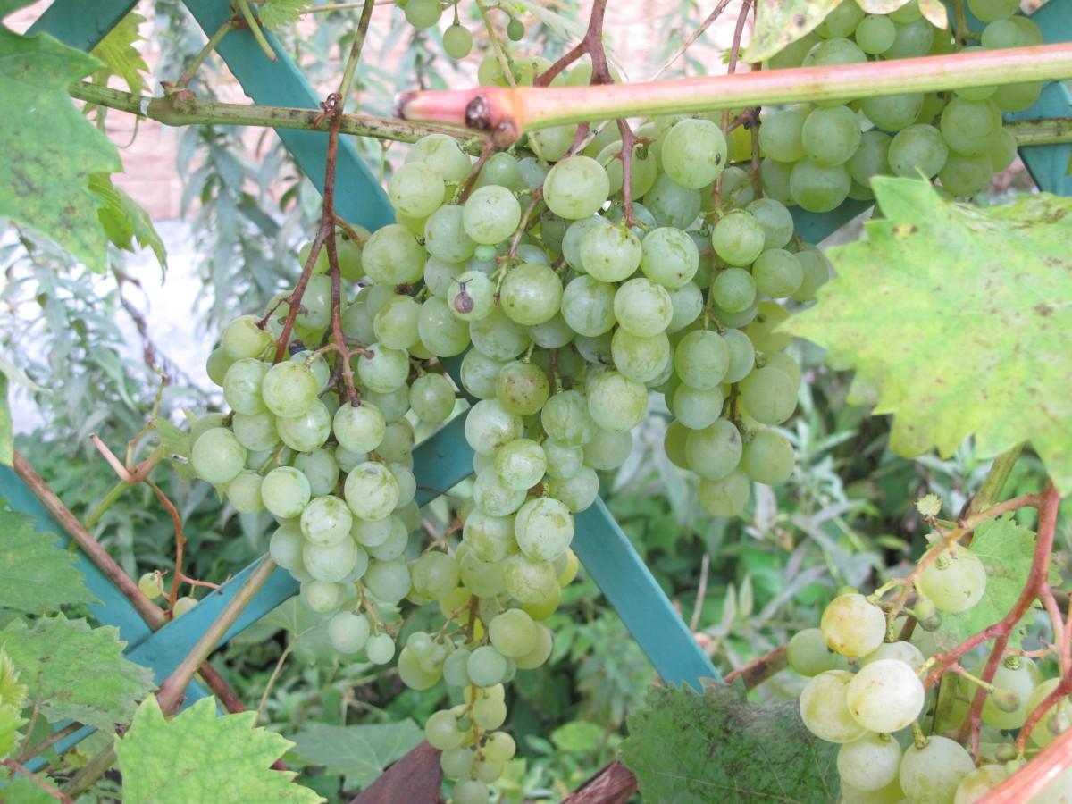 Виноград душистый фото 4