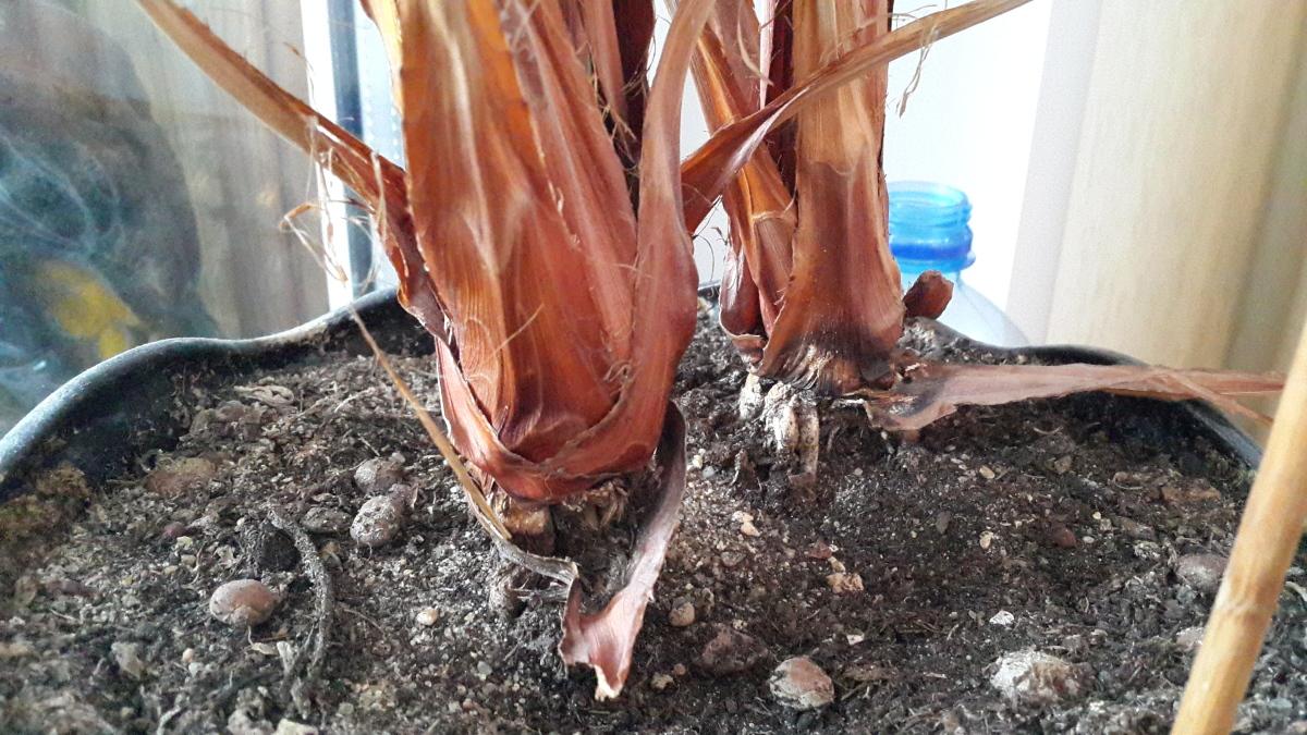 Выращивание фиников дома 16