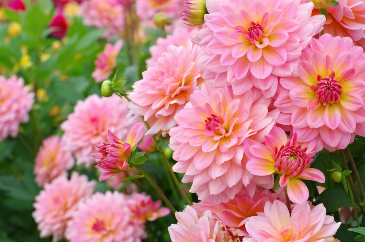 Многолетние цветы 97