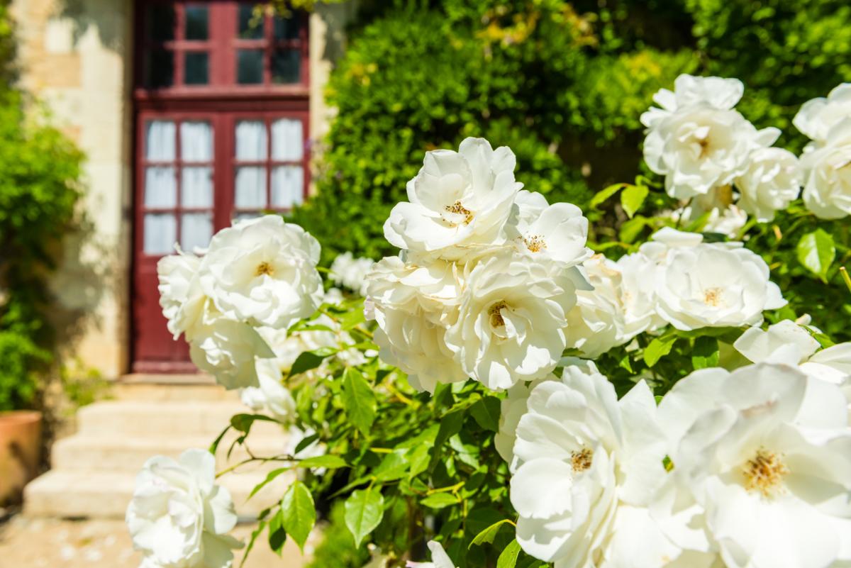 Розы морщинистые сорта купить