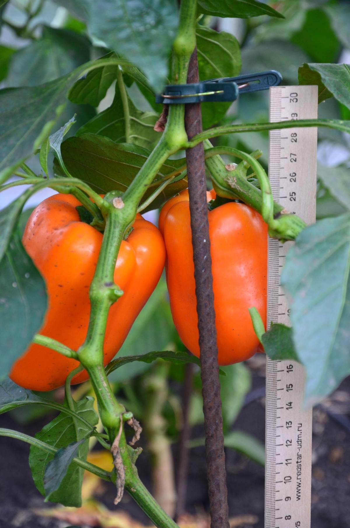 Выращивание из семян уход