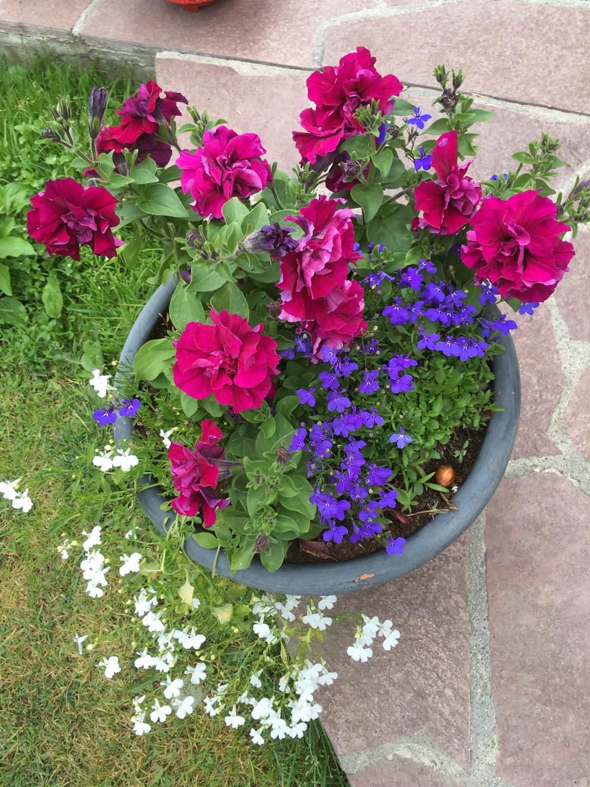 Цветы лобелия многолетняя посадка и уход