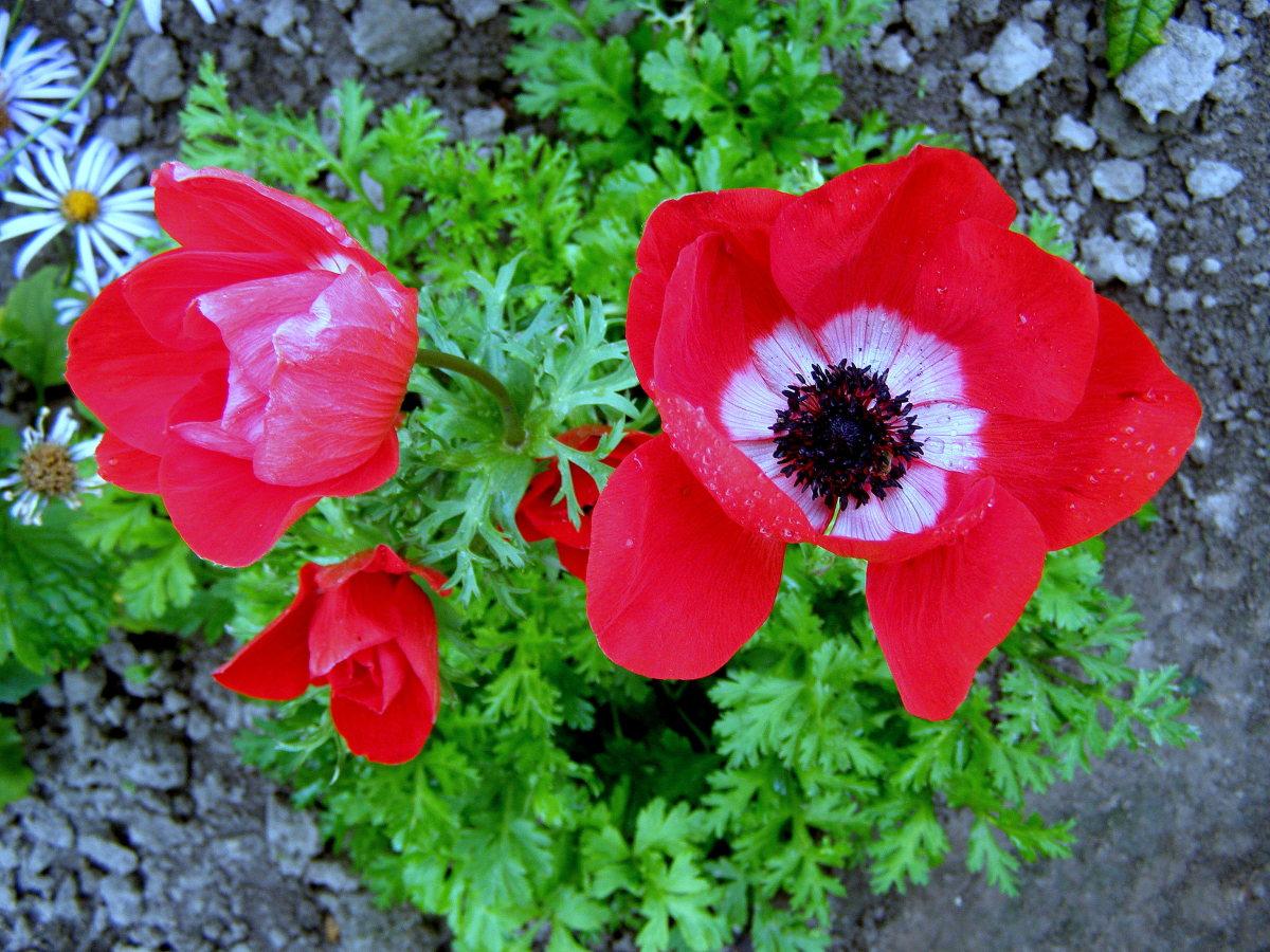 Цветок похожий на анемону фото