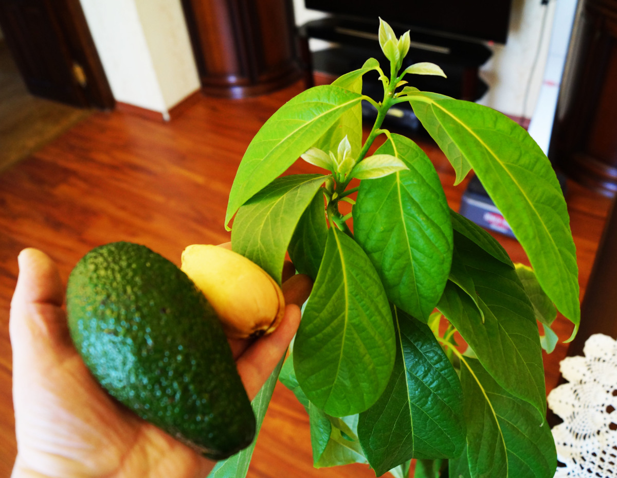 Авокадо в горшке: выращивание и уход в домашних условиях 94