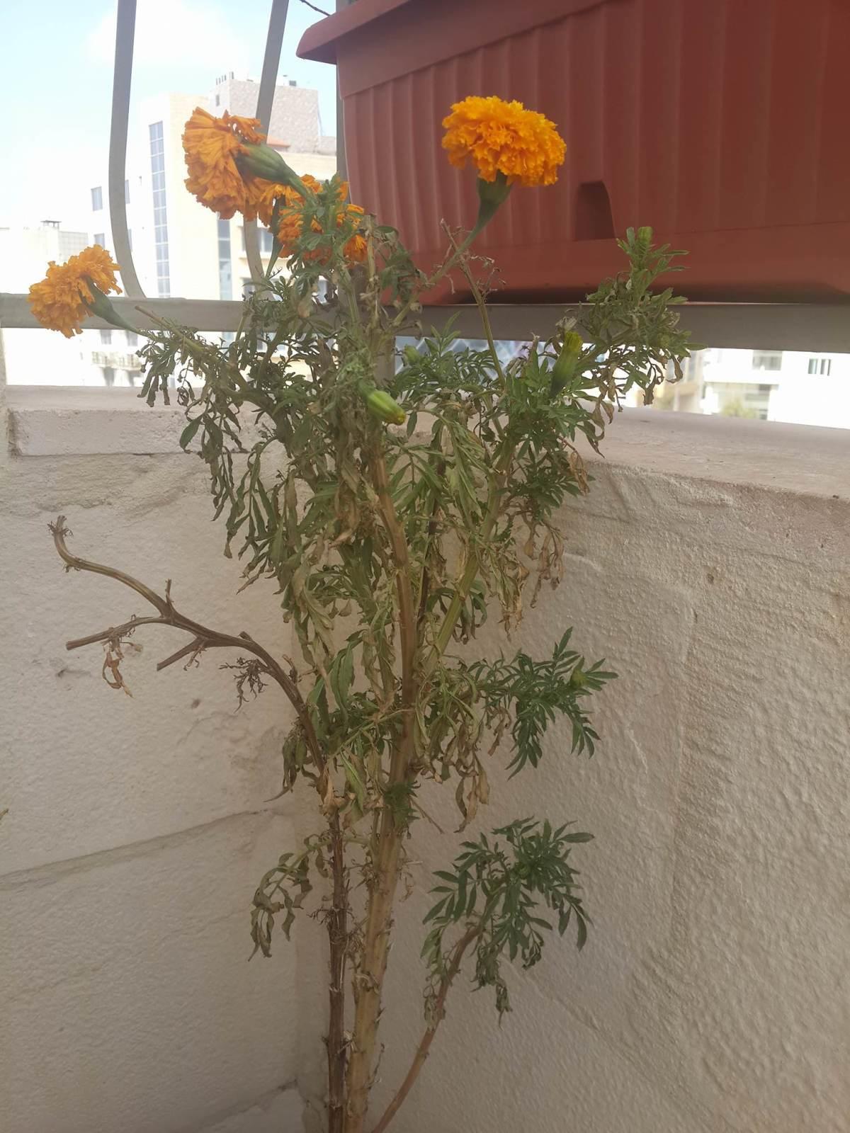 Бархатцы растут на балконе. начали увядать, на стеблях появи.
