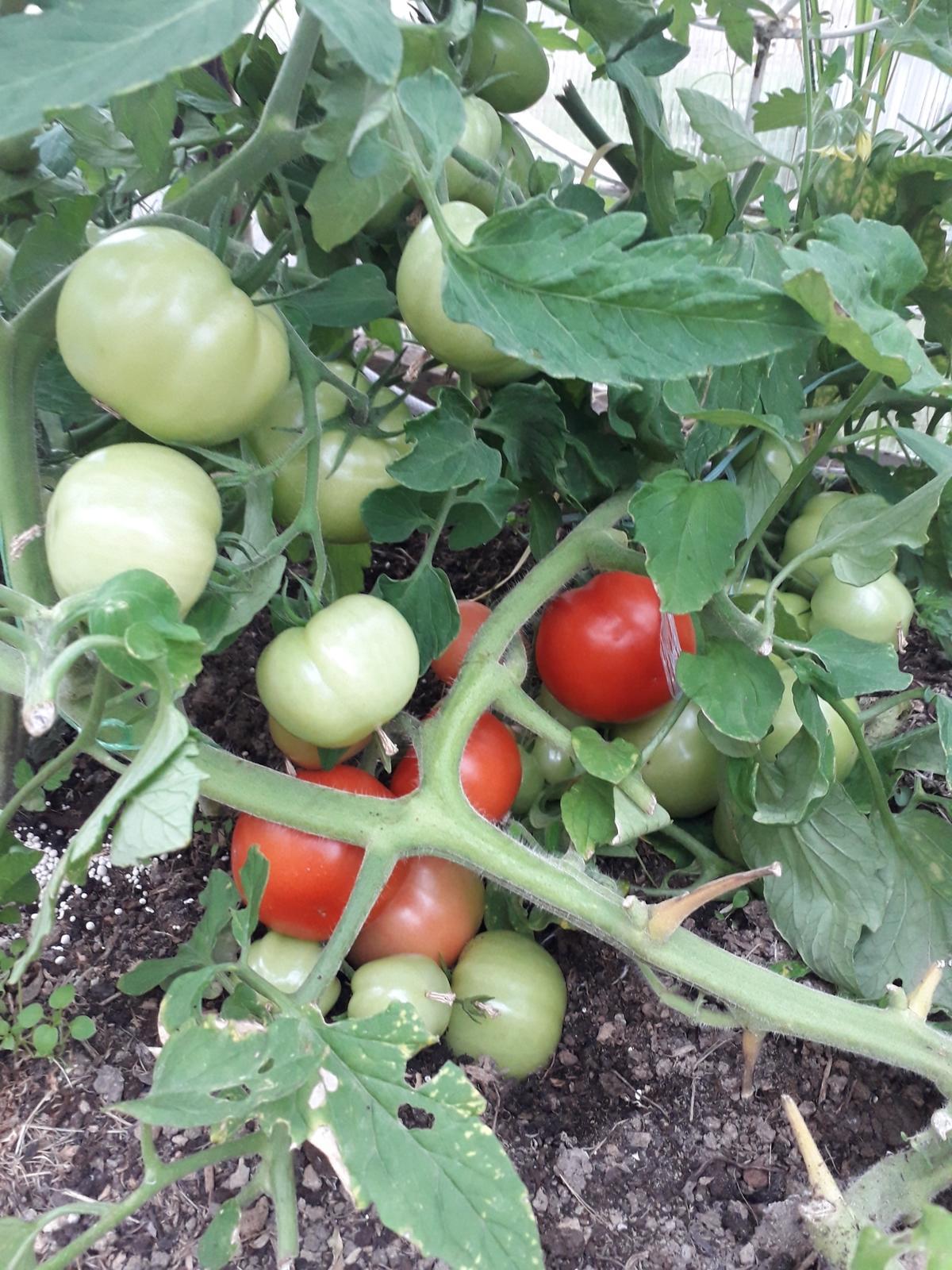 некоторых корпусах помидоры катя отзывы фото каталоге