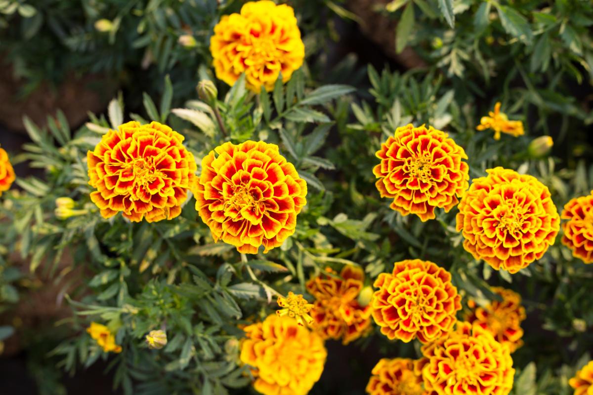 садовые фото название цветы