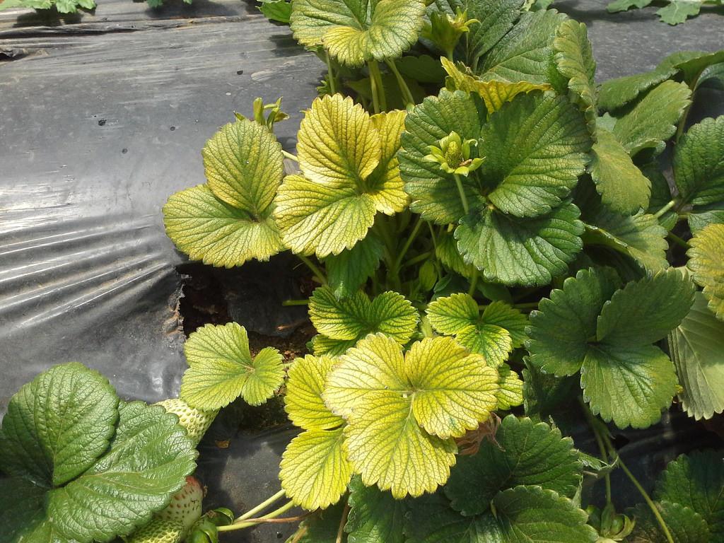аффикс мужских у клубники желтеют листья мастера