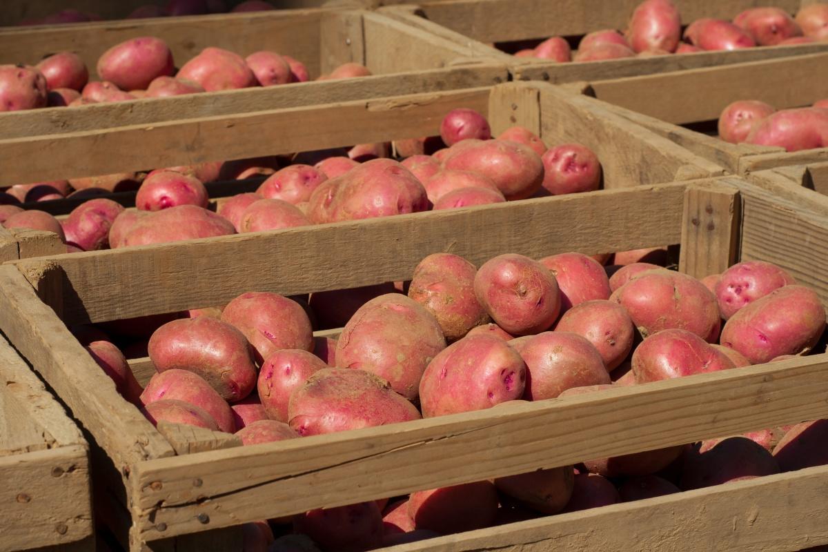 Хранение картофеля: 5 распространенных ошибок.