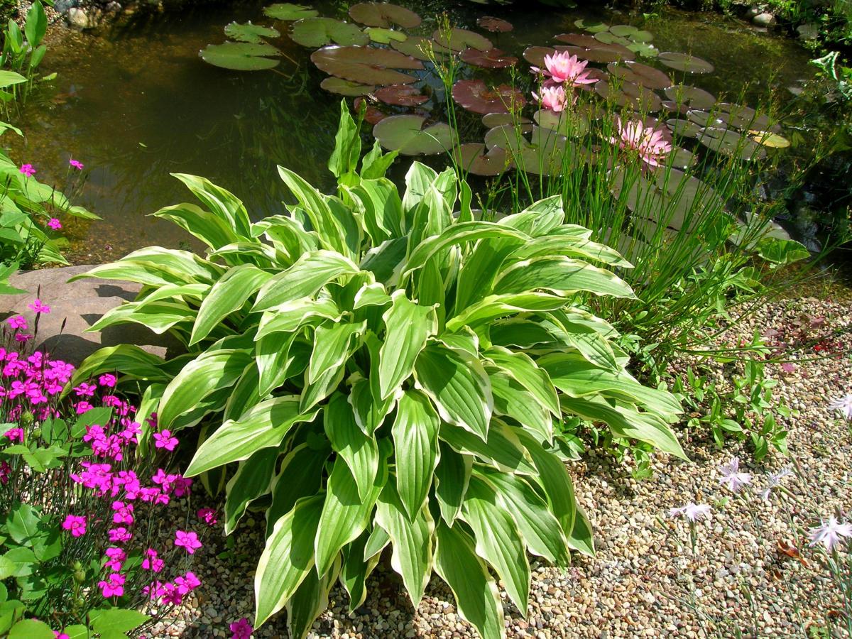 Растения в оформлении водоема