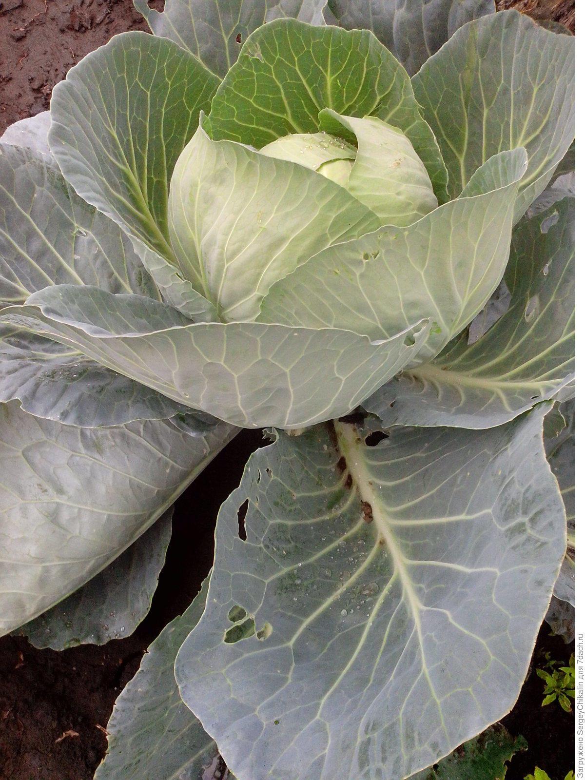 нужно ли обрывать с капусты листья