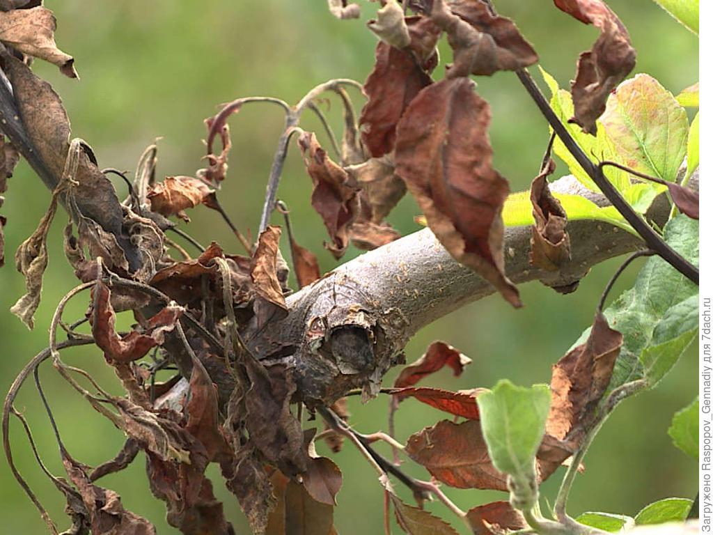 Еще пример усыхания ветвей