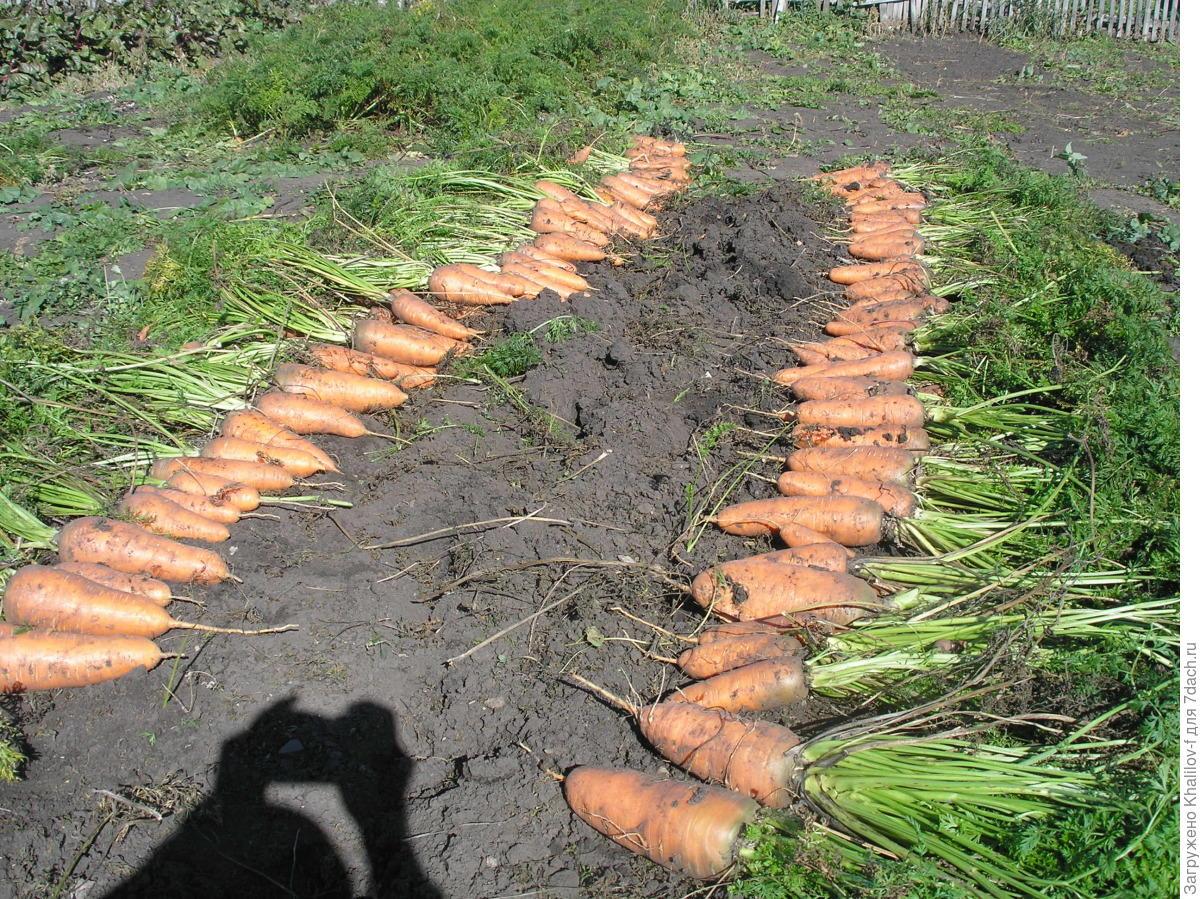 Первый раз посадил морковку лет 6 назад.