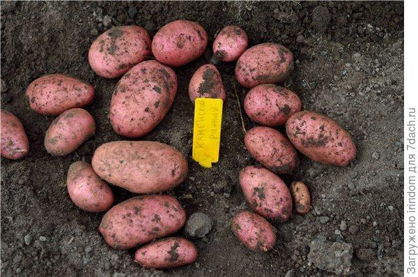 вам семена картофеля устойчивыйк жукам будет