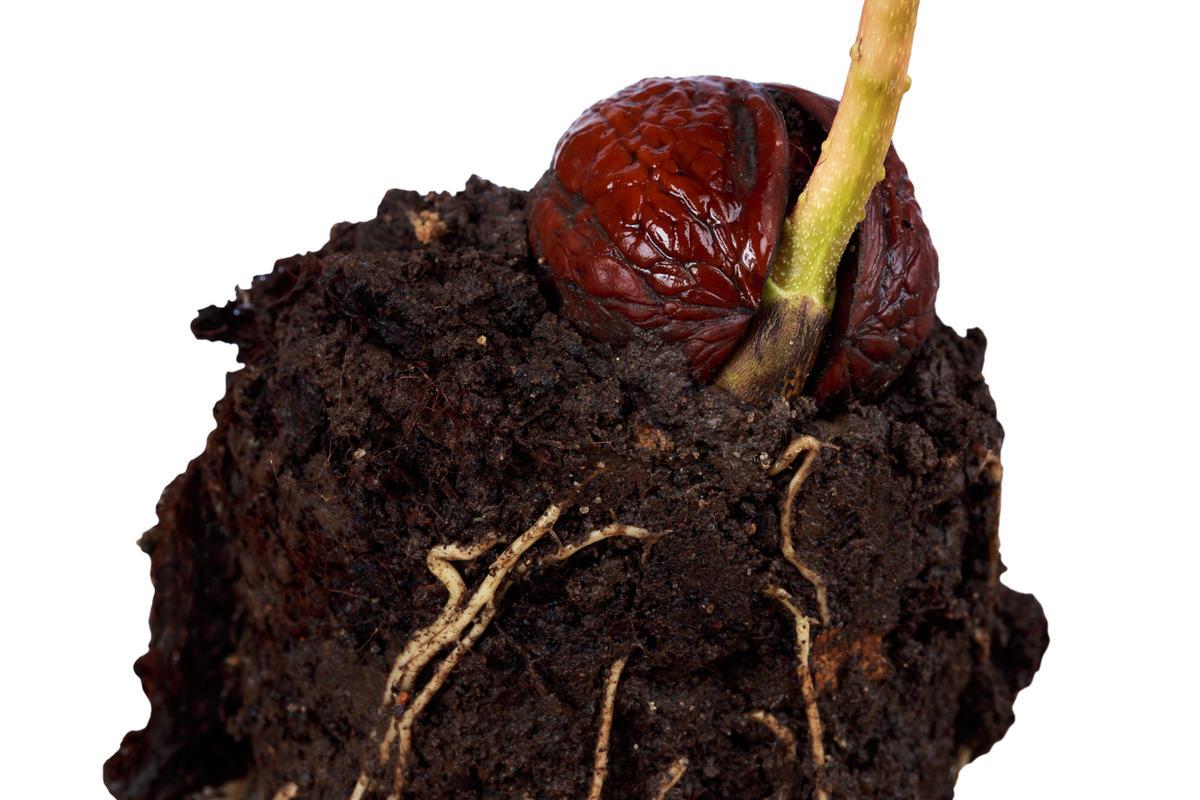 как выглядит росток грецкого ореха фото мне представляется достаточно