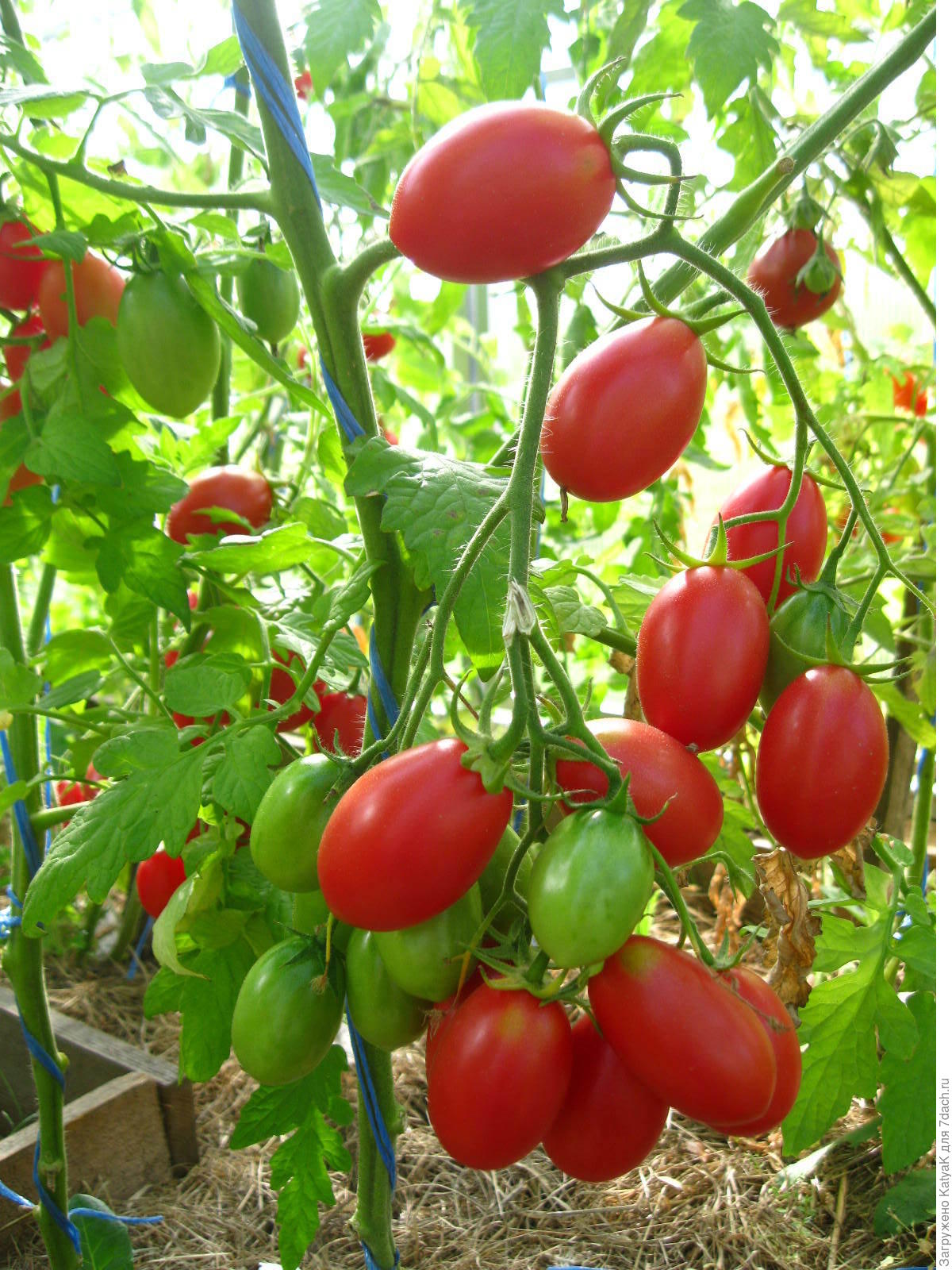 местом для томат чио чио сан отзывы фото кто сажал можете снимать