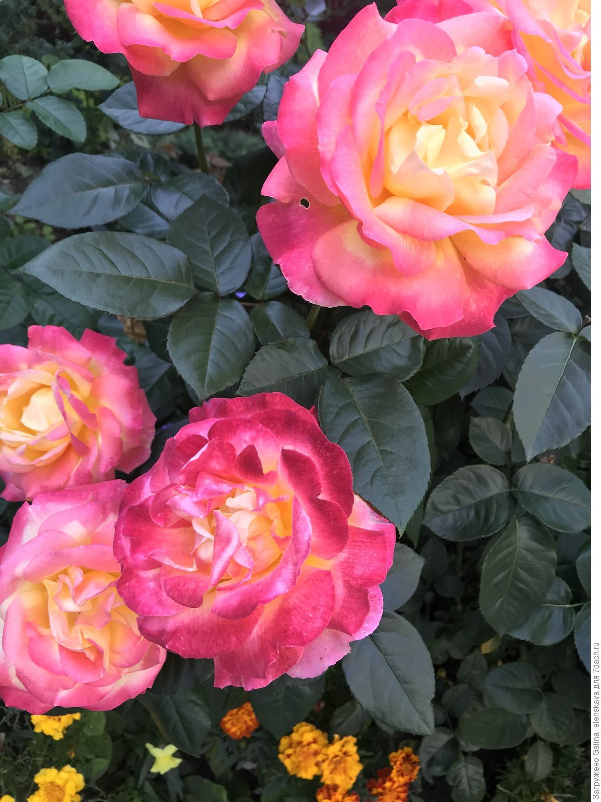 рассказать определить сорт розы по картинке знания