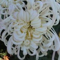 """Можно ли здесь приобрести семена или саженцы хризантемы сорта """"Белый пудель""""?"""