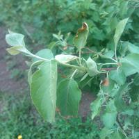 На яблоне тля, слабые листья, некоторые с коричневым краем. Чем удобрить или лечить?