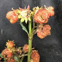 Почему вянут  и трескаются ягоды у клубники?