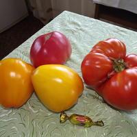 Мои помидоры