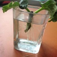 Можно ли укоренить черенок гортензии, стоящий в воде с весны?