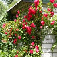 Можно ли употреблять в пищу плоды, образовавшиеся на плетистой розе?
