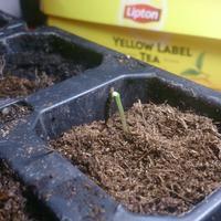 Семена взошли быстро, но не снимается оболочка семени. Пробовал снять, но не получается. Что можно сделать?