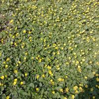Сейчас повсюду цветут желтенькие цветочки, как они называются?